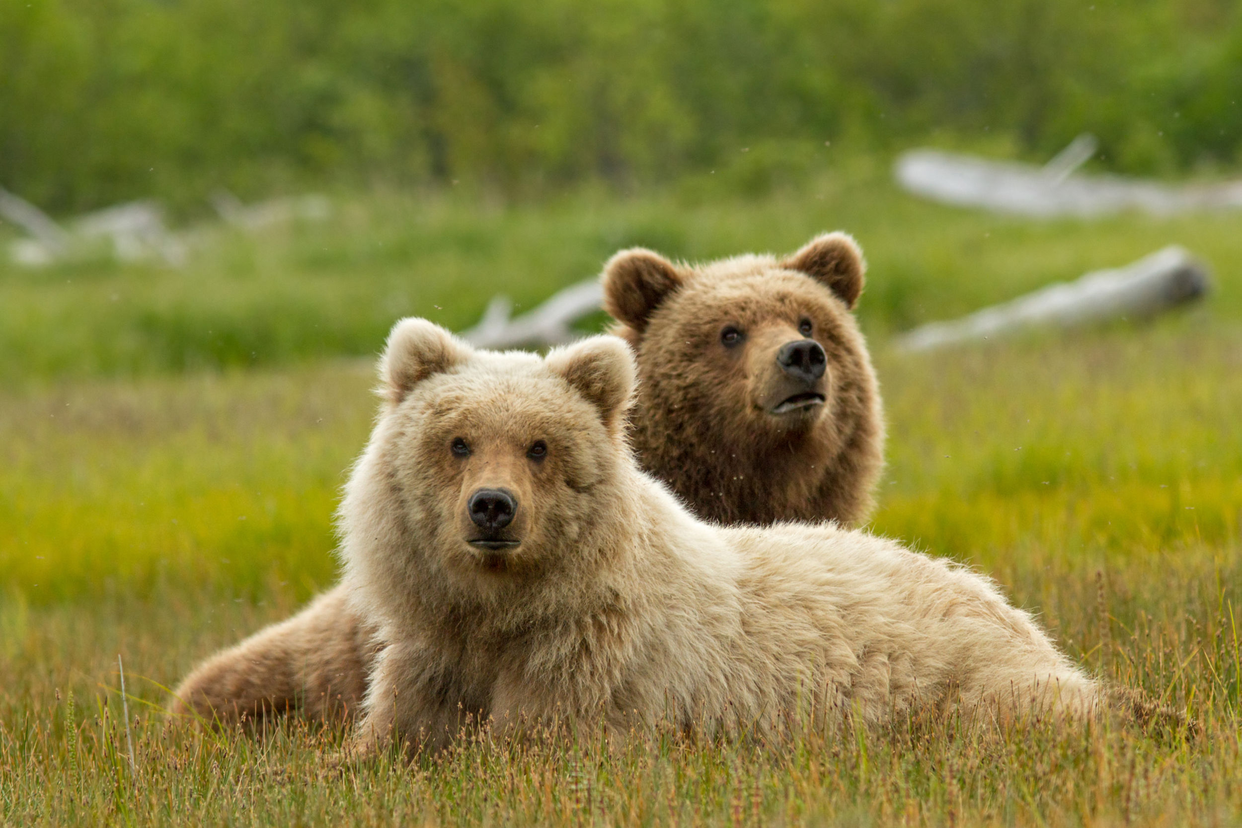 Animals (Bears)